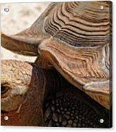 Aldabra Tortoise Acrylic Print