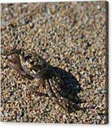 Ale Eke Ohiki Kuau Sand Crab Acrylic Print