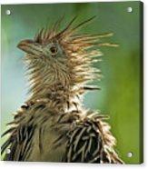 Alert Bird Acrylic Print