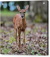 Alert Fawn Deer In Shiloh National Military Park Tennessee Acrylic Print