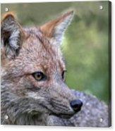 Alert Fox  Acrylic Print