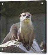 Alert Otter Amblonyx Cinerea Acrylic Print