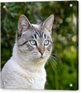 Alert Tabby With Blue Eyes Acrylic Print