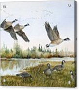 Aleutian Geese At Lake Earl Acrylic Print