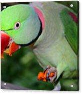 Alexandrine Parrot Feeding Acrylic Print