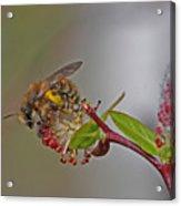 Alfalfa Bee Acrylic Print