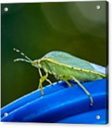 Alice The Stink Bug 2 Acrylic Print