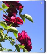 All About Roses And Blue Skies Vii Acrylic Print