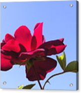 All About Roses And Blue Skies Viii Acrylic Print