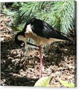 All Clear - Bird Looking Under Legs Acrylic Print