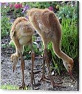 All Legs Sandhill Colts Acrylic Print