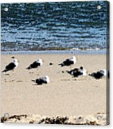 All My Gulls In A Row Acrylic Print