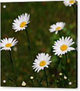 All The Daisies Acrylic Print