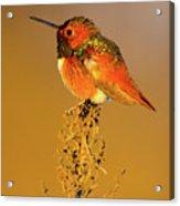 Allen's Hummingbird II Acrylic Print