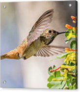 Allen's Hummingbird On Golden Currant Acrylic Print