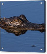 Alligator 17 Acrylic Print