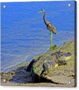 Alligator And Blue Heron Acrylic Print