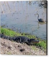 Alligator And Heron Acrylic Print