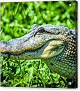 Alligator  Acrylic Print
