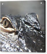 Alligator Eye Acrylic Print