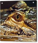 Alligator Eye Close Up-2 Acrylic Print