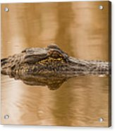 Alligator Head Acrylic Print
