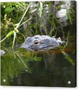 Alligator Hunting Acrylic Print