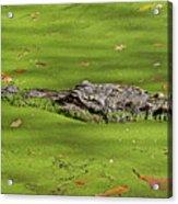 Alligator In Sun Acrylic Print