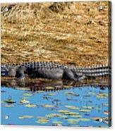 Alligator In The Sun Acrylic Print