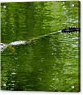 Alligator In Wait Acrylic Print
