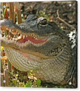 Alligator Showing Its Teeth Acrylic Print