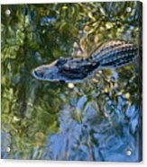 Alligator Stalking Acrylic Print
