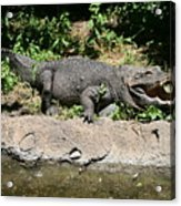 Alligator Surprise Acrylic Print