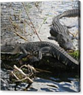 Alligators In An Everglades Swamp Acrylic Print