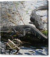 Alligators In An Everglades Swamp Acrylic Print