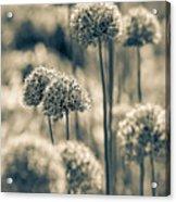 Allium 2 Acrylic Print