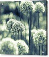 Allium 3 Acrylic Print