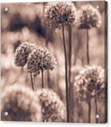 Allium 4 Acrylic Print