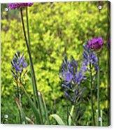 Allium And Camassia Acrylic Print