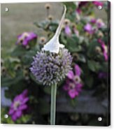 Allium Blossom With Cap Acrylic Print