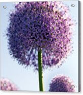 Allium Flower Acrylic Print
