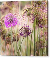 Allium Flowers Acrylic Print