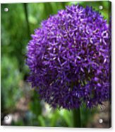 Allium Gladiator Closeup Acrylic Print