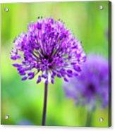 Allium Acrylic Print