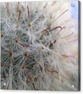 Allium Sativum Acrylic Print