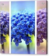 Allium Triptych Acrylic Print