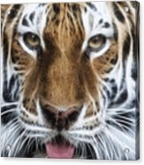 Alluring Tiger Acrylic Print by Jeff Swanson
