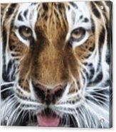 Alluring Tiger Acrylic Print