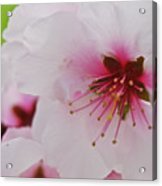 Almond Blossom Acrylic Print