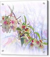 Almond Blossoms Acrylic Print